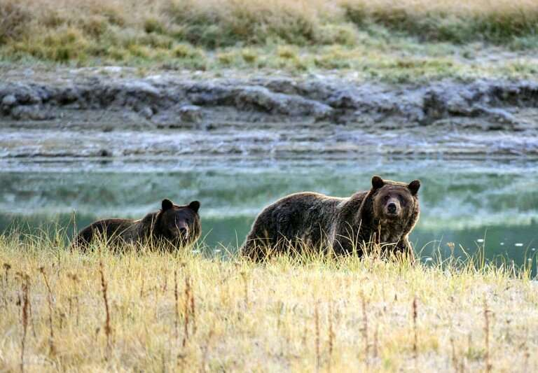 A grizzly bear and her cub are seen at Yellowstone National Park, Wyoming, which gained new protections under legislation passed