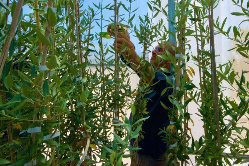 Agronomist and olive oil producer Giovanni Melcarne, who has lost 90 percent of his plants, is experimenting with olive saplings