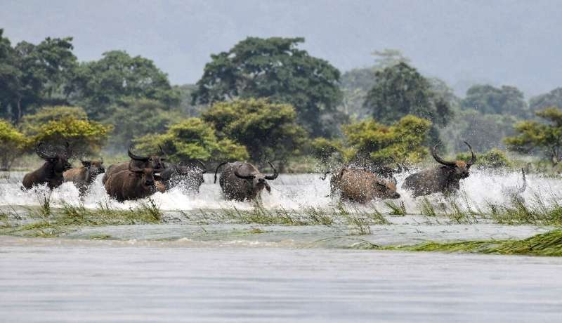 A herd of wild buffalo wade through floodwaters at Kaziranga National Park in the India's northeast state of Assam