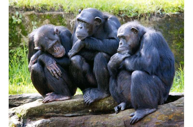 All four sub-species of the African chimpanzee are threatened with extinction, with at least one—the western chimpanzee—declinin