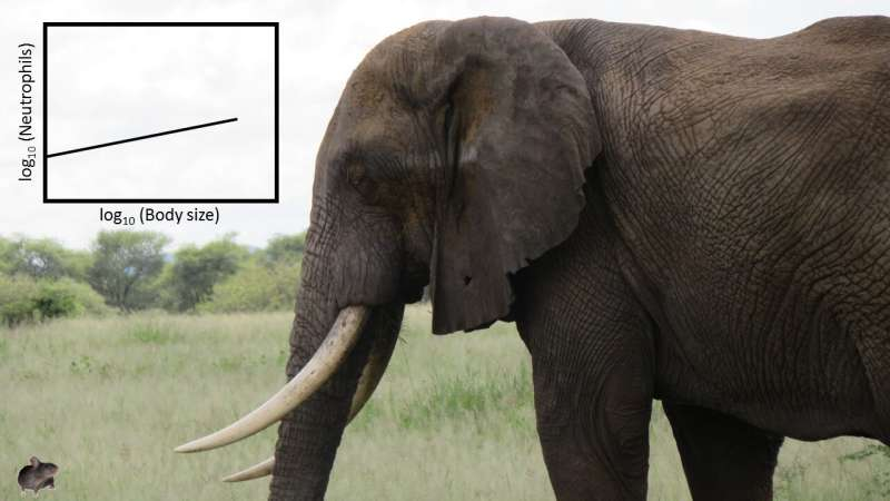A mouse or an elephant: what species fights infection more effectively?