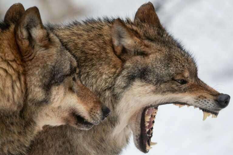An account by a gardener in Germany of how he was bitten by what he described as a wolf is at the centre of a highly politicised
