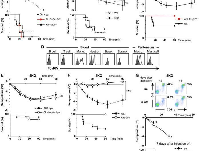 Anaphylactic shock: Anti-drug IgG antibodies and neutrophils play an unexpected role