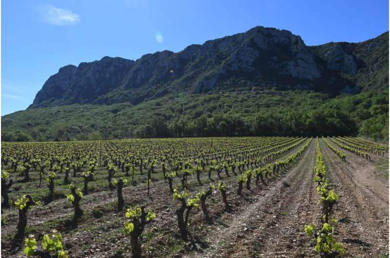 Ancient DNA from Roman and medieval grape seeds reveal ancestry of wine making