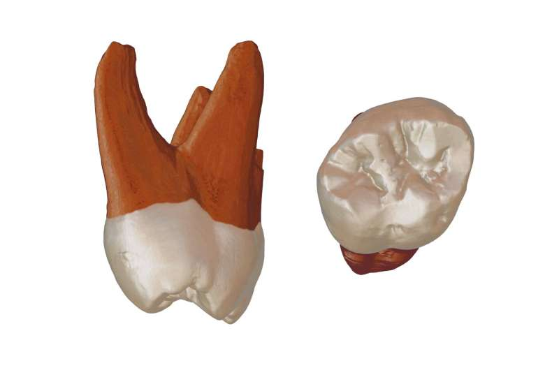 A Neanderthal tooth discovered in Serbia reveals human migration history