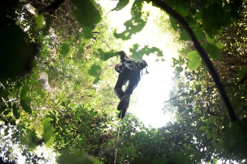 An entomologist climbs a tree to observe the leaves of a toxic creeper believed to be a host plant for the giant butterfly