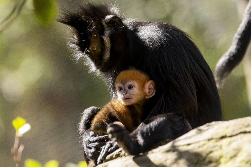 A newly-born male Francois' Langur, one of the world's rarest monkeys, staying close to his mother Noel at the Taronga Zoo in Sy