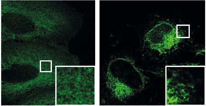 **A new signaling pathway for mTor-dependent cell growth