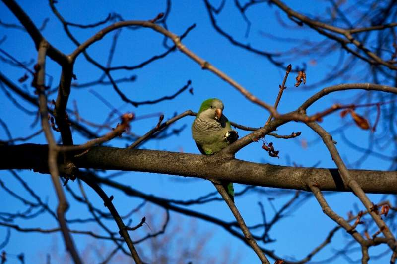 A quaker or monk parakeet perches on a tree in Madrid's Retiro Park—but their soaring numbers, noise and bulky nests have prompt