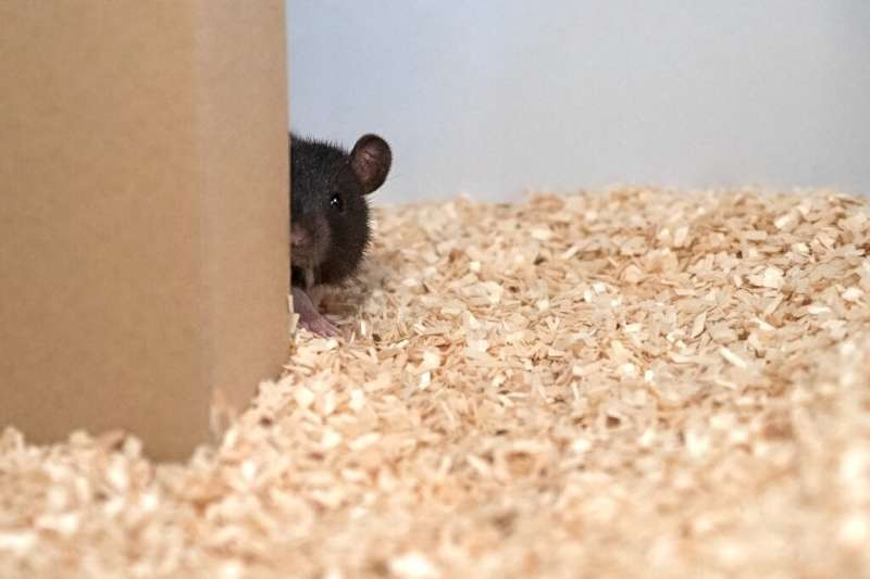 A rat plays hide-and-seek in this undated image courtesy of Reinhold, Sanguinetti-Scheck, Hartmann & Brecht