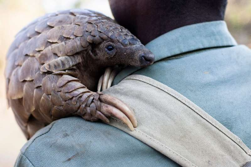 Around 100,000 pangolins are plucked from the wild each year in Africa and Asia, according to conservation group WildAid