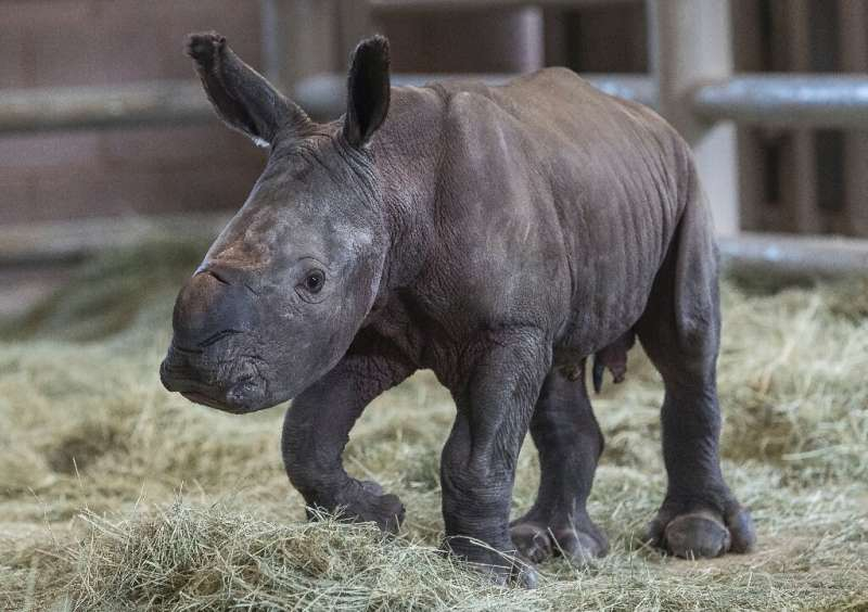 Around 18,000 southern white rhinos are in exitance but they are being killed by poachers at a rapid rate