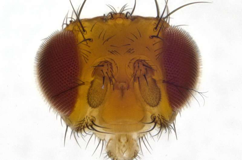 A single gene determines whether a fly has a good sense of sight or a good sense of smell