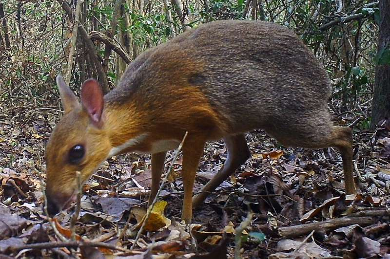 A still from a remote camera shows the Silver-backed Chevrotain—long considered to be near-extinct—in a forest in central Vietna