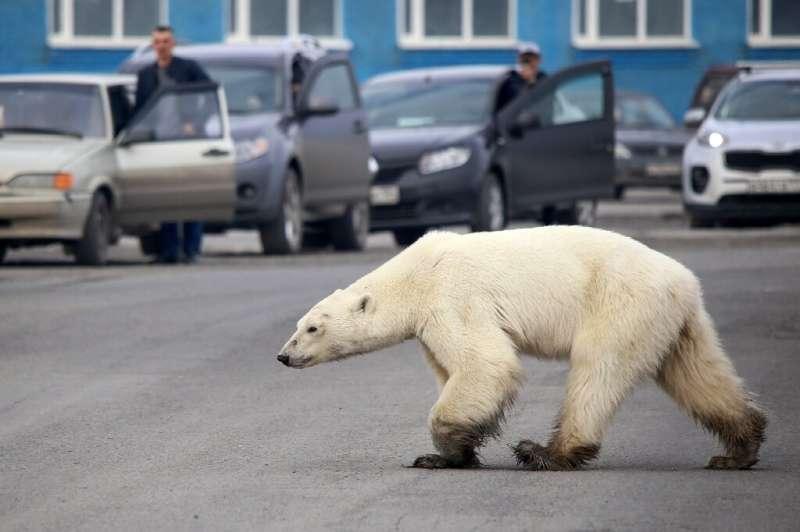 A stray polar bear walks along a road near the Russian industrial city of Norilsk, hundreds of kilometres from its natural habit