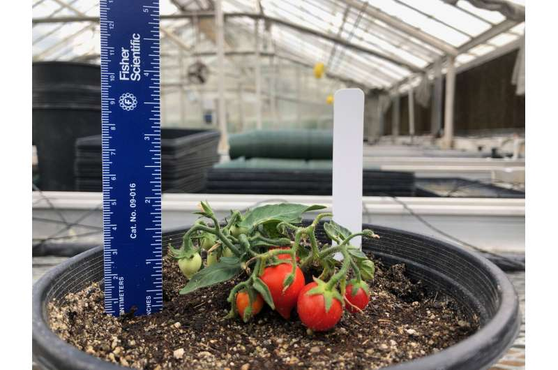 Astronauts might soon grow SPACE tomatoes