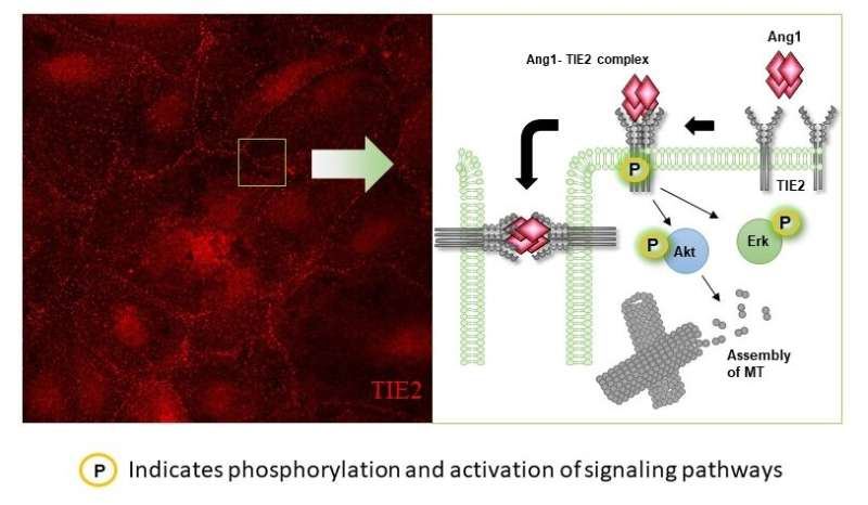 """A """"switch"""" that regulates traffic across blood vessels"""