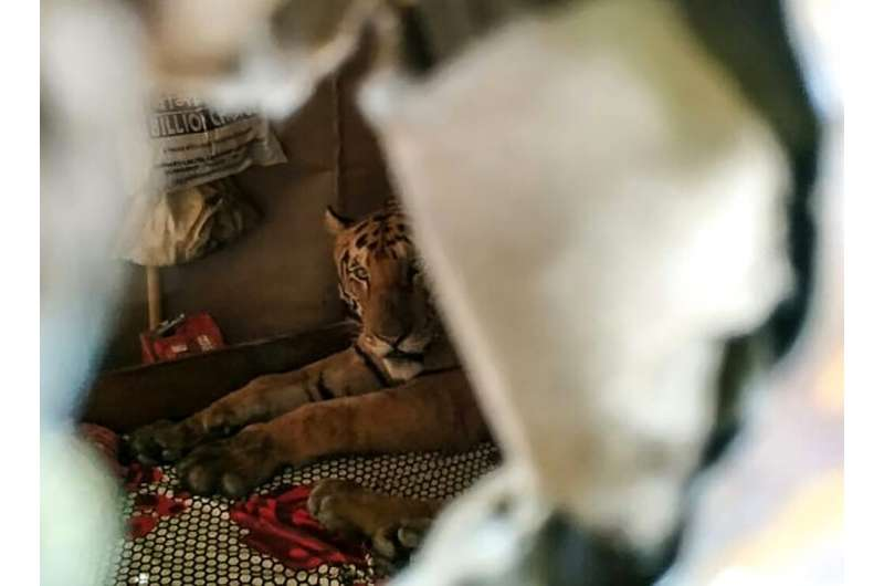 A tiger seeking refuge from flooding in India's Kaziranga National Park startled residents when it took shelter on a daybed in a