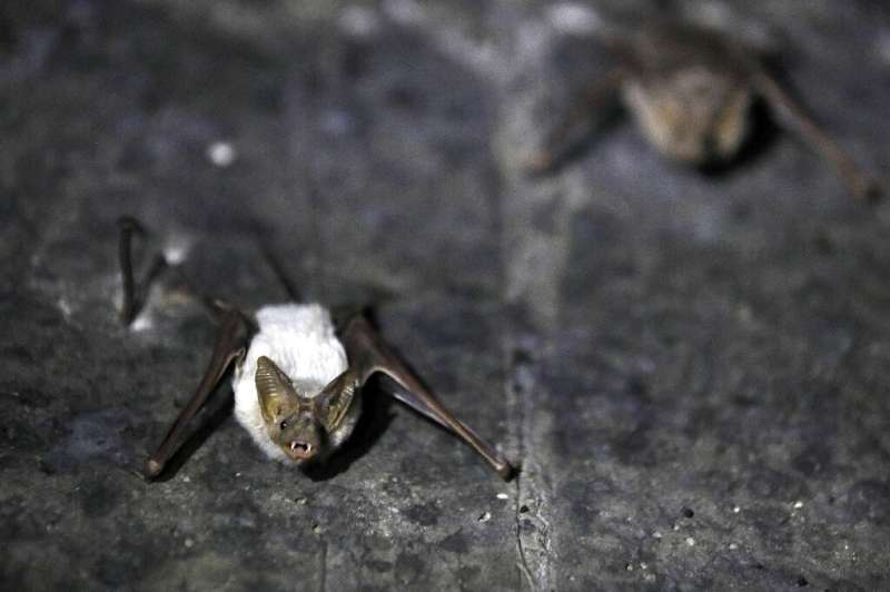 At least a dozen types of insectivore bats can be found in the oppressively hot Jordan Valley from spring to autumn, hiding from
