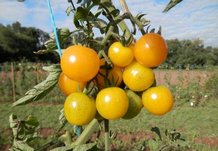 A tomato for everyone: 'Sunviva' for the good of all