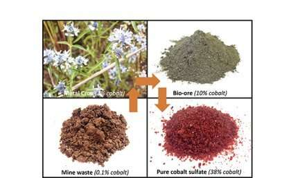 Australian plants extracting high–value metals from mining wastes