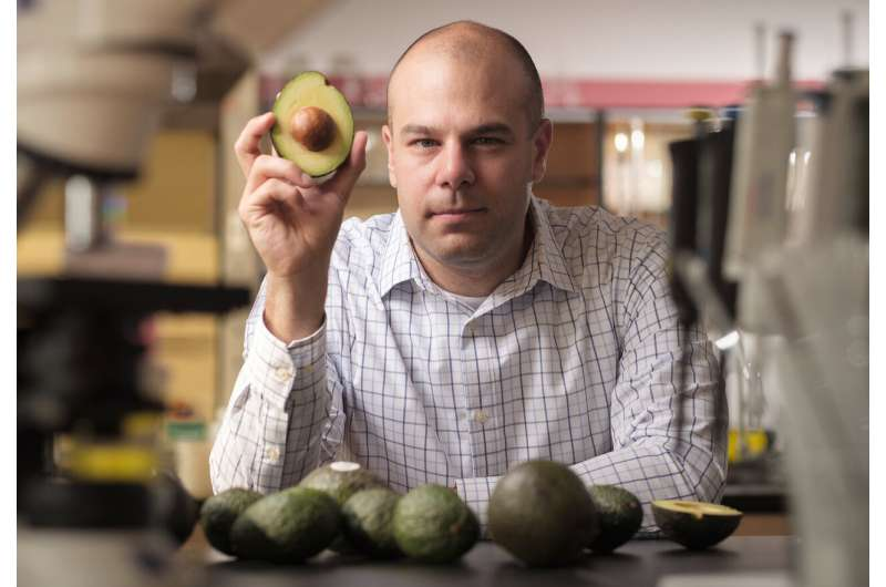 Avocados may help manage obesity, prevent diabetes