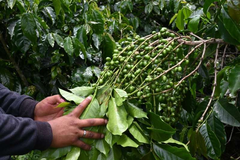 A worker labors at a coffee farm in Aguijotes, Guatemala, on July 17