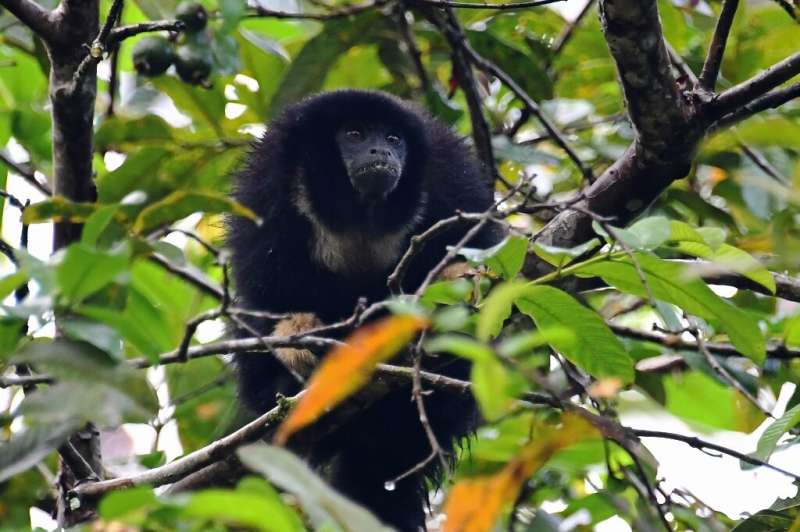 A zogue zogue monkey (Callicebus torquatus) eats fruits in a tree at the Amana Sustainable Development Reserve, in Amazonas Stat