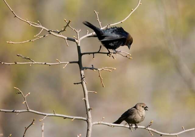 Bateman's cowbirds