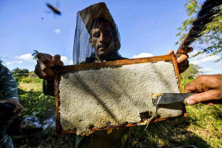 Beekeepers collect honeycombs in Navajas, Matanzas province, Cuba where bees are flourishing despite shrinking populations elsew