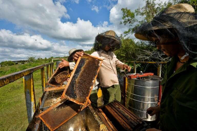 Beekeepers process honeycombs at an apiary in Navajas, Matanzas province, Cuba