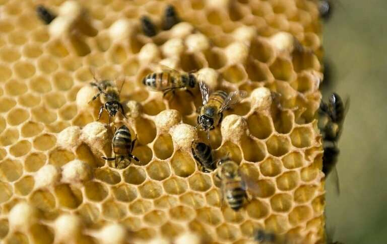 Bees are flourishing Cuba, helped by absence of pesticides and a diet of mountain wildflowers that yields high quality honey
