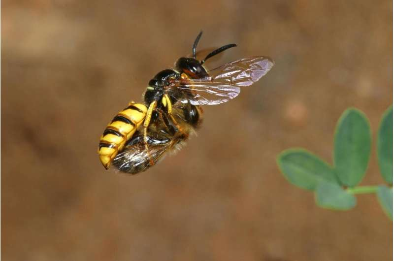 Beewolves use a gas to preserve food
