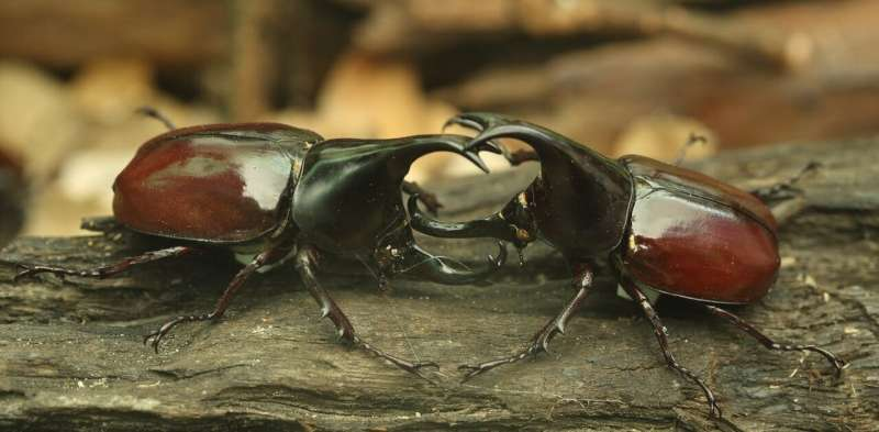 Belligerent beetles show that fighting for mates could help animals survive habitat loss