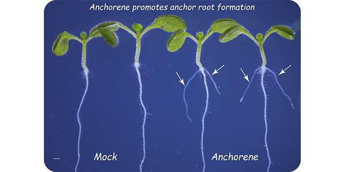Better anchor roots help crops grow in poor soils