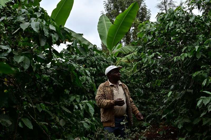 Biogas bounty: Kenyan farmer Josphat Muchiri looks at his flourishing coffee trees—their harvest has doubled thanks to fertilise