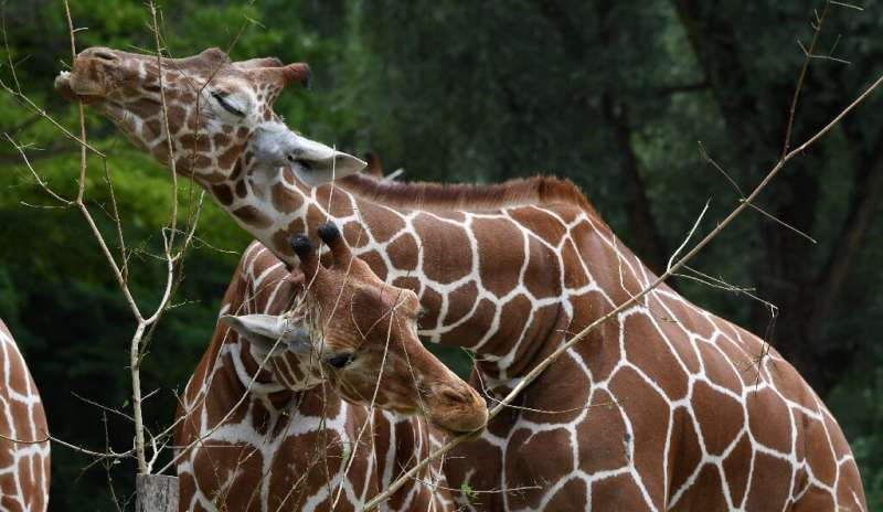 Biologists say giraffes are bisexual. In some groups, 90 percent of the acts observed are in fact homosexual in nature
