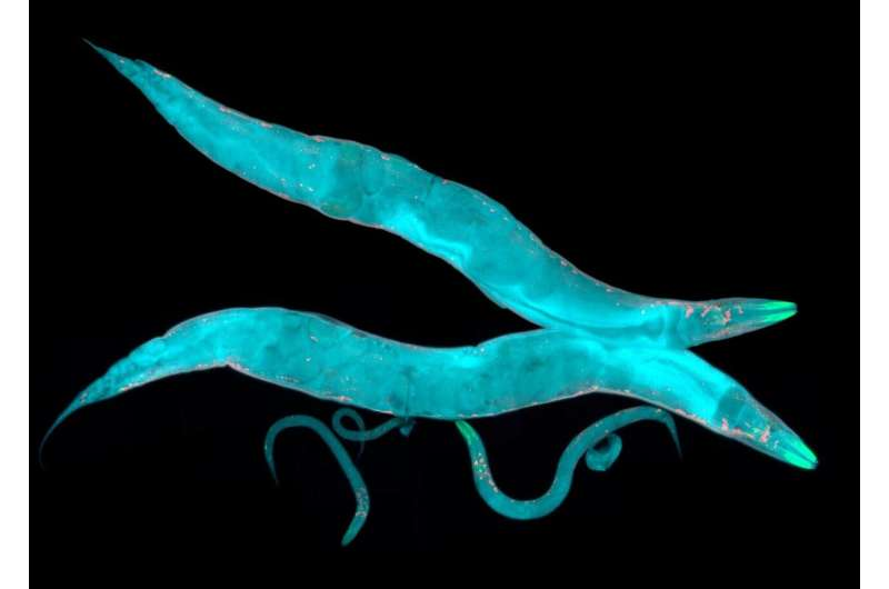 Biophysicists use machine learning to understand, predict dynamics of worm behavior