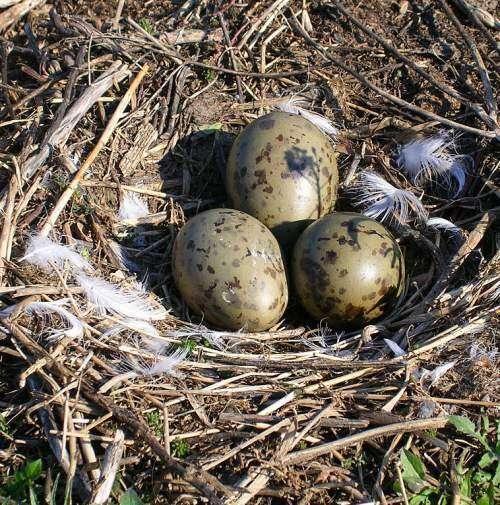 Bird embryos respond to adult warning calls inside their shells