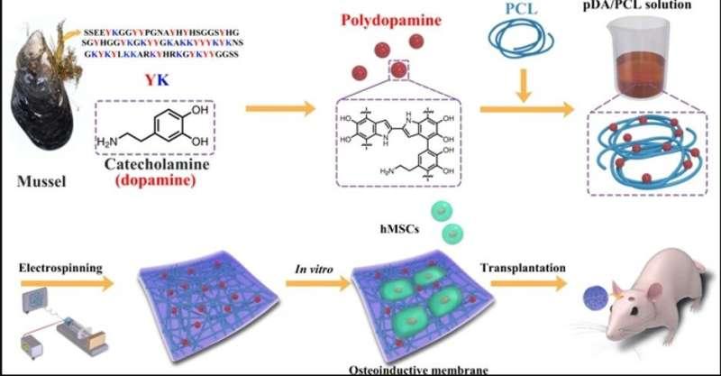 Bone Tissue Engineering - nano-glue polymer membranes for robust bone regeneration