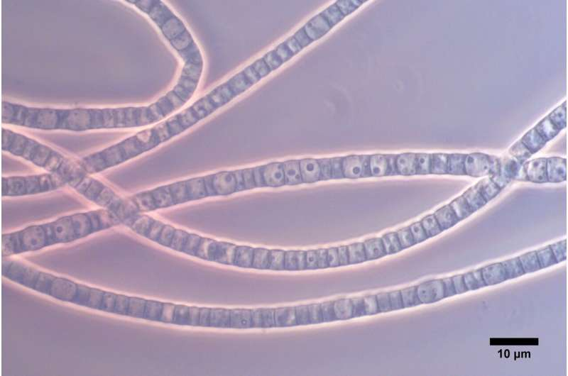 Cable bacteria: Living electrical wires with record conductivity