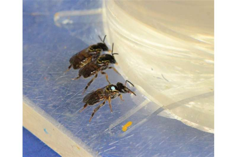 Caffeine does not influence stingless bees