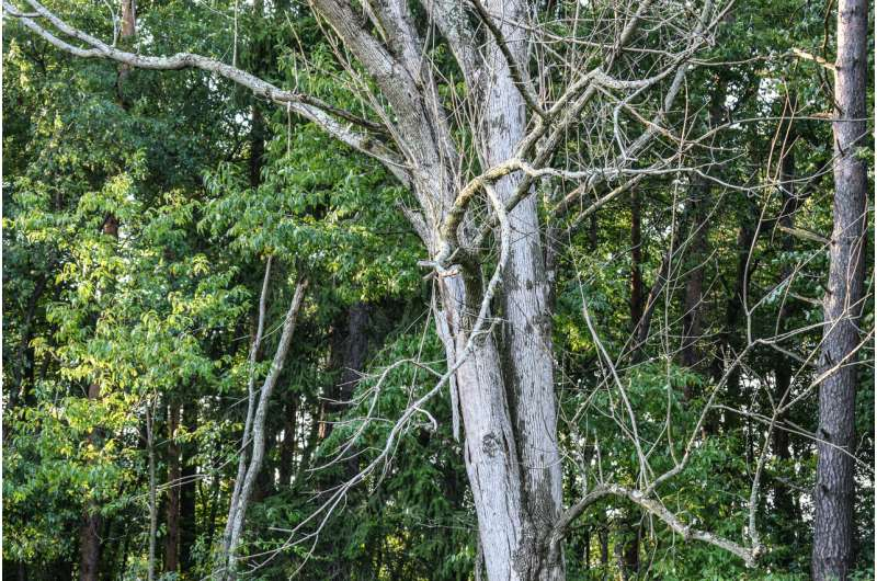 Can genetic engineering save disappearing forests?