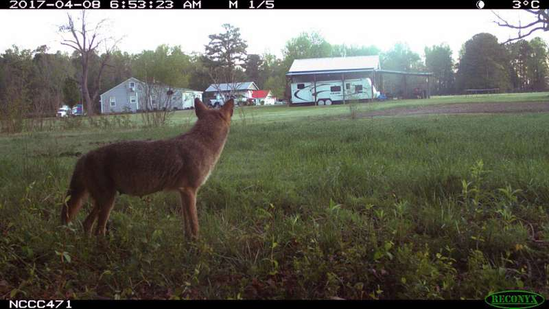 Can multiple carnivores coexist in cities?