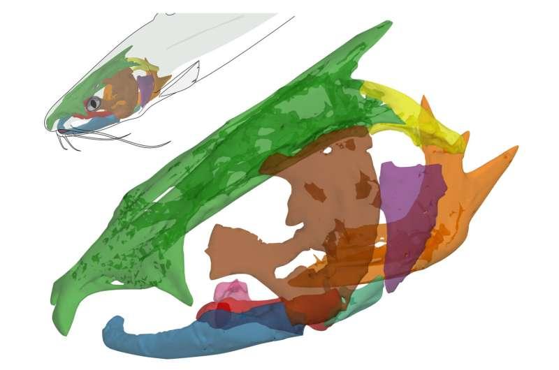 Catfish use complex coordination to suck in prey