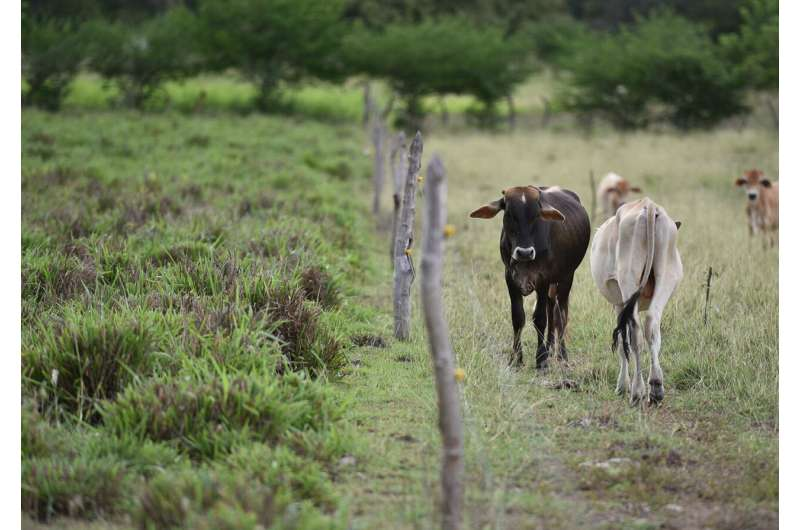 Cattle urine's planet-warming power can be curtailed with land restoration