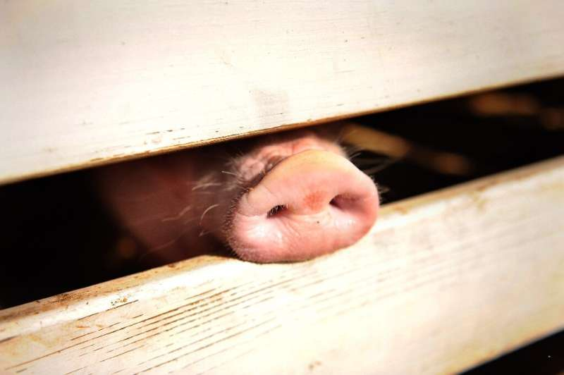 China's swine herd has tumbled about 40 percent since the disease broke out in the country more than a year ago