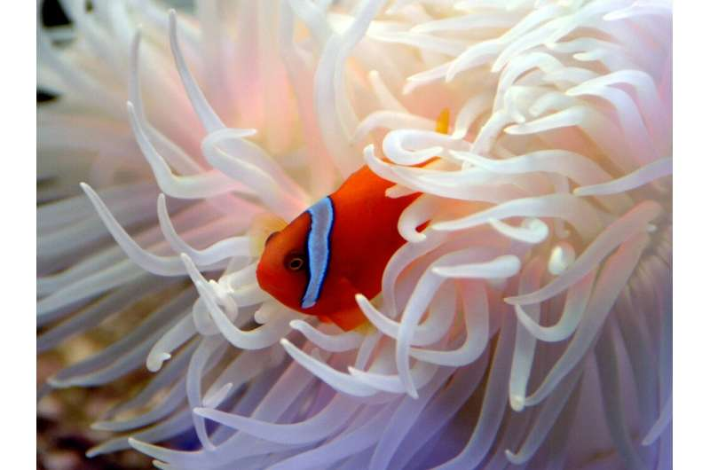 Clown fish face an uncertain future as they lack the reproductive genetic variation to cope changes in their environment driven