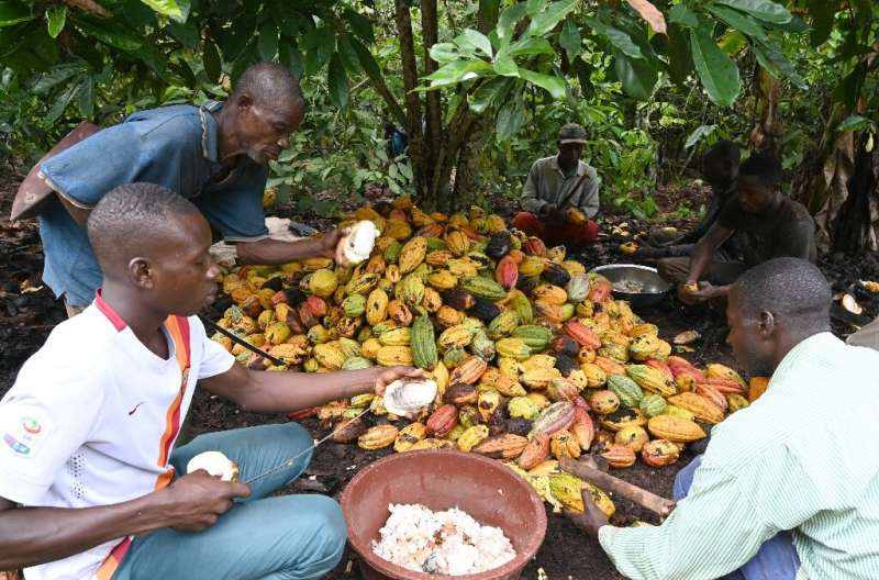 Cocoa farmers use hooked knives to break open the cocoa pods on a plantation near Sinfra in Ivory Coast's Central region