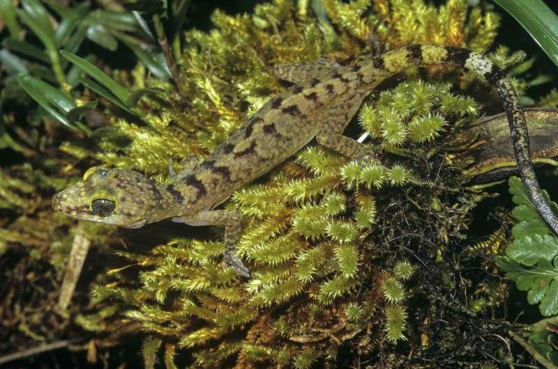 Colorful new gecko species described